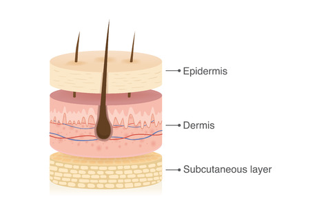 Foto per Three main layer of the human skin with 3 dimension in circle shape. Illustration about medical diagram. - Immagine Royalty Free