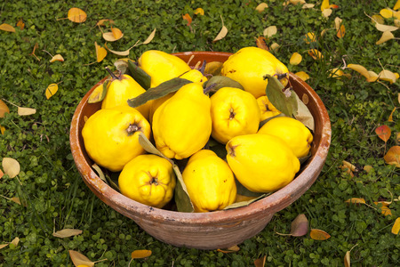 Photo pour Large yellow quinces in a clay bowl on the green lawn with leaves. - image libre de droit