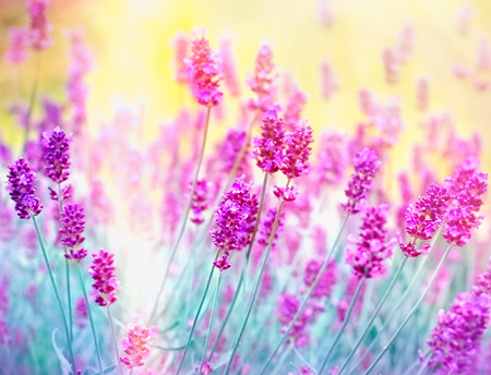 Photo for Lavender flower - Beautiful lavender flower lit by sunlight - Royalty Free Image