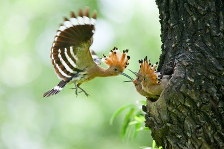 Photo pour Hoopoe feeding wild birds children - image libre de droit
