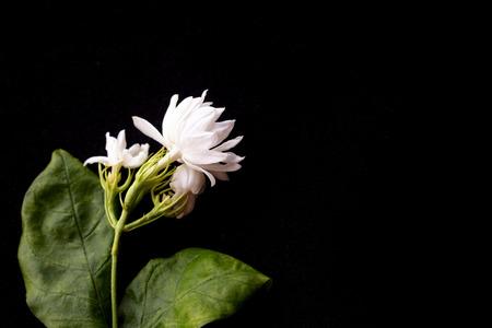 Foto de Beautiful jasmine flowers isolated on black background. - Imagen libre de derechos