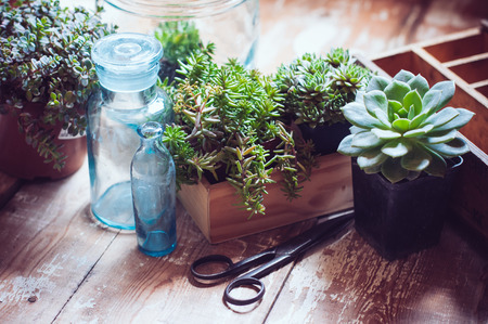 Foto de House plants, green succulents, old wooden box and blue vintage glass bottles on a wooden board, home gardening and decorating rustic style. - Imagen libre de derechos