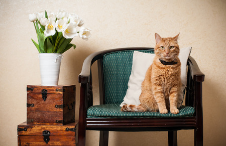 Photo for Home interior, cat sitting in an armchair, a wall and a bouquet of white tulips - Royalty Free Image