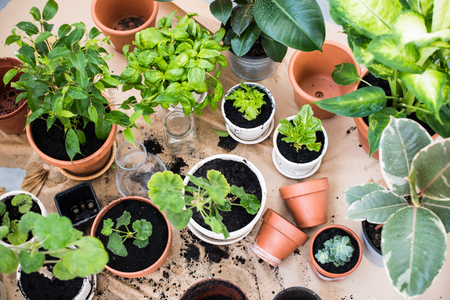 Foto de Natural plants in pots, green garden on a balcony. Urban gardening, home planting. - Imagen libre de derechos
