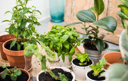 Foto de Natural plants in pots, green garden on a balcony. Urban gardening, home planting. - Imagen libre de derechos