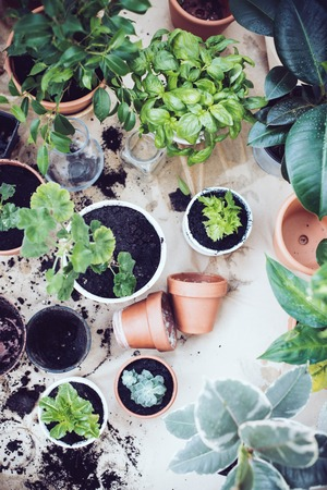 Photo for Natural plants in pots, green garden on a balcony. Urban gardening, home planting. - Royalty Free Image