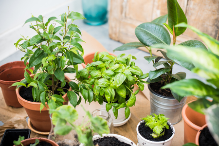 Foto de Natural plants in pots, green garden on a balcony. Urban gardening, home planting. Basil and celery regrow. - Imagen libre de derechos