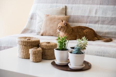 Foto de Big lazy ginger cat laying on a sofa in a living room, cozy home interior - Imagen libre de derechos