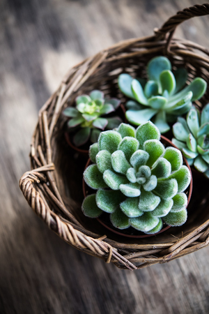 Foto de Green house plants potted, succulents in a basket - Imagen libre de derechos