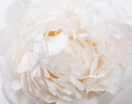 Photo for white peony petals closeup, summer flowers macro shot. Natural t - Royalty Free Image
