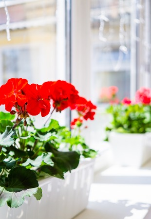 Photo pour Red geranium flowers on windowsill at home balcony window - image libre de droit