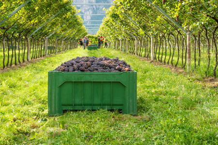 Foto de Crate of harvested grapes and rows of vines during the grape harvest in the South Tyrol / Trentino Alto Adige, northern Italy. - Imagen libre de derechos