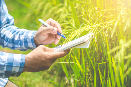 Foto de Asian male farmer researching record data in the GMO rice fields. - Imagen libre de derechos