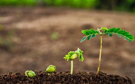 Foto de step of growing tamarind sprout - Imagen libre de derechos