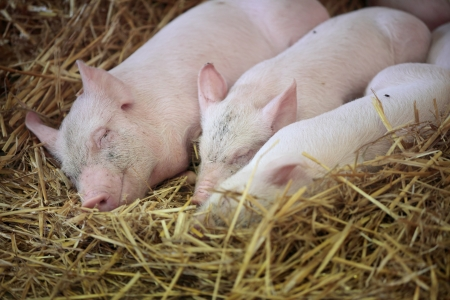 Three little pigs sleeping in the straw.