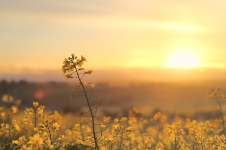 Foto de Golden sunrays and fields of gold.  Golden canola blooming in the spring morning light - Imagen libre de derechos
