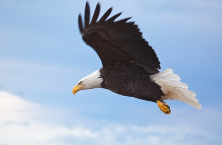 Foto per Photo of an American Bald Eagle in Flight - Immagine Royalty Free