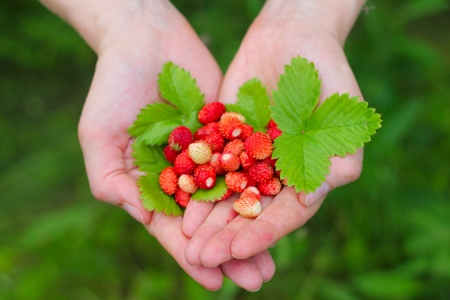 Foto de Wild red strawberry with leaves in hands close up - Imagen libre de derechos
