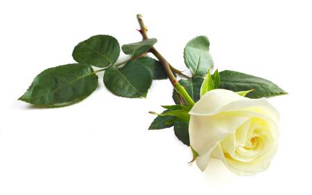 Foto de One white rose isolated on white background close-up - Imagen libre de derechos