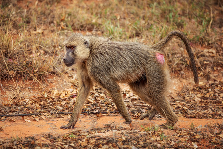 Foto de Yellow baboon (Papio cynocephalus)  walking on savanna. Amboseli national park, Kenya - Imagen libre de derechos