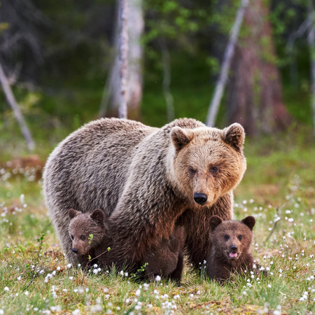 Photo pour Brown mother bear protecting her cubs in a Finnish forest - image libre de droit