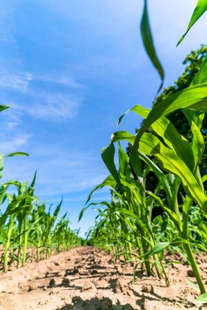 Photo pour Agricultural field with corn seedlings - image libre de droit