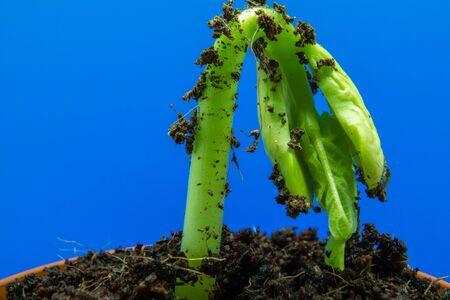 Foto de Young bean sprout comes out of the soil. Growing out of soil with blue background - Imagen libre de derechos