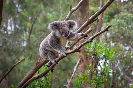 Photo pour A wild Koala climbing a tree . - image libre de droit