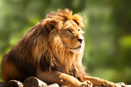 Photo pour profile of a relaxed African lion staring in the zoo - image libre de droit