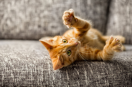 Photo for  Little cat playing on the bed - Royalty Free Image