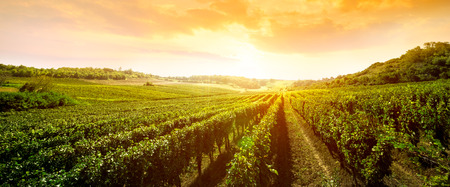 Foto de landscape of vineyard, nature background - Imagen libre de derechos