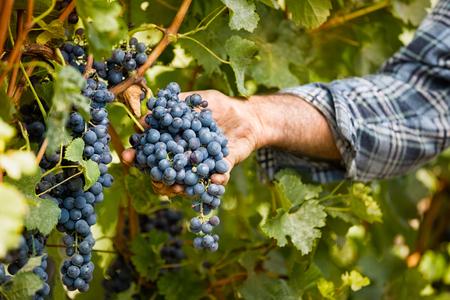 Photo pour Grapes harvest in vineyard, close up - image libre de droit