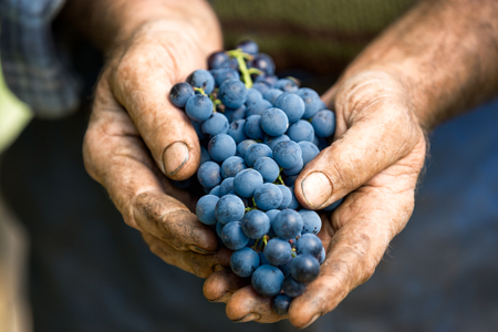 Photo for Hand holding fresh bunch of grapes in the vineyard - Royalty Free Image