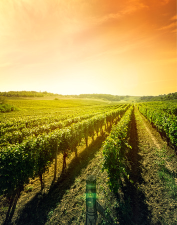 Photo for Beautiful landscape of vineyard, nature composition - Royalty Free Image