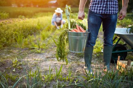 Foto de Carrots from garden in metallic bucket in farmer?s hands, close up - Imagen libre de derechos