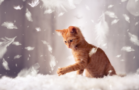 Photo for playful red kitten in feathers - Royalty Free Image