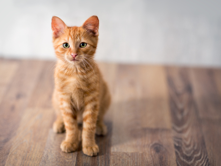 Photo for Adorable little kitten, looking at camera - Royalty Free Image