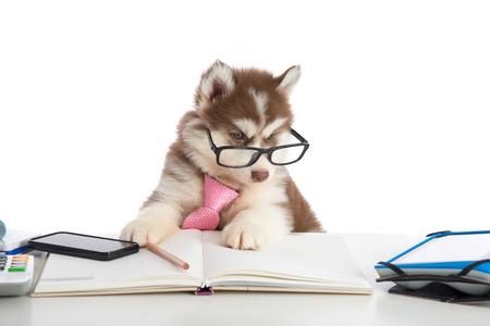 Foto de Cute siberian husky puppy in glasses working on white table - Imagen libre de derechos