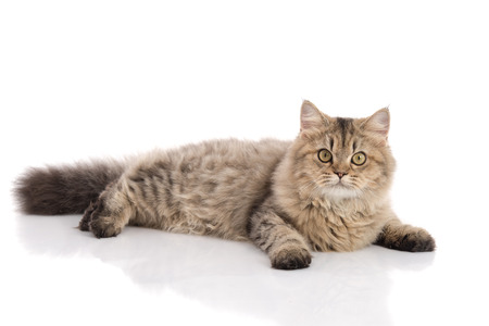 Foto de Tabby cat lying and looking on white background,isolated - Imagen libre de derechos