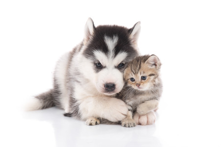 Foto de Cute siberian husky puppy  cuddling  cute kitten on white background isolated - Imagen libre de derechos