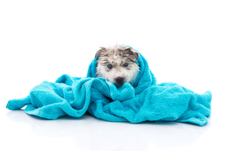 Photo pour Blue eyes siberian husky puppy after bath is covered with a blue towel, isolated on white background - image libre de droit