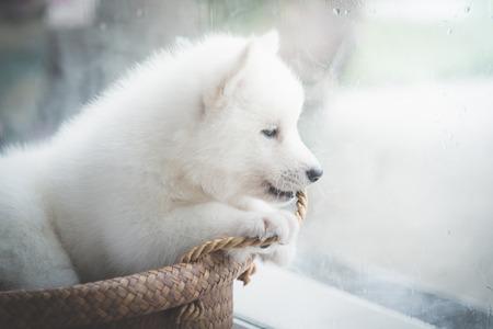 Sad siberian husky puppy at the window,vintage filter