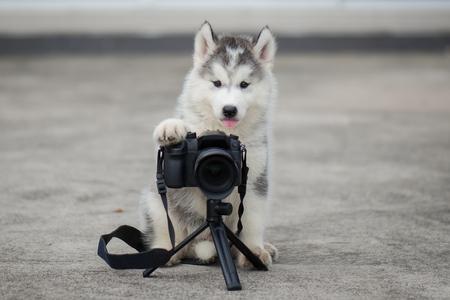 Photo pour Cute siberian husky puppy taking a photo - image libre de droit