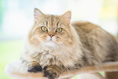 Photo for Cute persian cat lying on cat tower and looking at camera - Royalty Free Image
