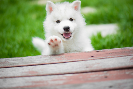 Photo for Cute siberian husky puppy playing in the park and look at camera - Royalty Free Image