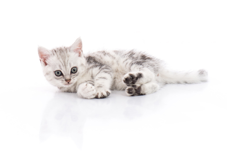 Photo pour Cute American Shorthair kitten on white background isolated - image libre de droit