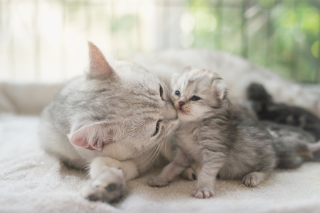 Photo for American shorthair cat kissing her kitten with love - Royalty Free Image