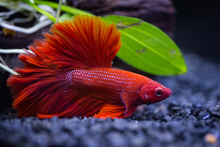 Photo pour Close up of Red half moon  Siamese fighting fish in a fish tank - image libre de droit