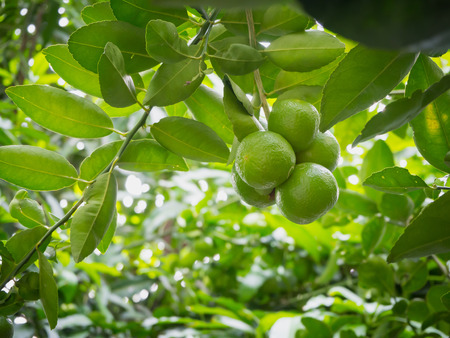 Foto de Close up limes hanging on tree - Imagen libre de derechos