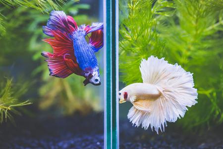 Photo pour Close up of Fancy half moon Siamese fighting fishes quarreling - image libre de droit